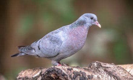 Sprawdzone produkty dla gołębi